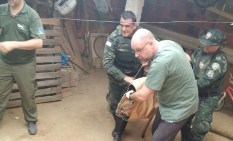 Onça capturada em quintal de Baixo Guandu é solta na Reserva de Sooretama