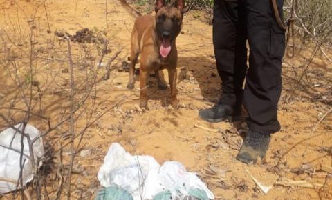 Polícia Civil apreende mais de mil buchas de maconha em Colatina